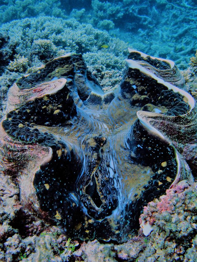 Image giant Tridacna on Great Barrier Reef royalty free stock photography