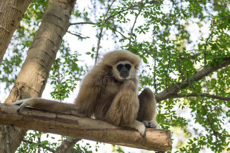 Image of a gibbon sits on timber. Wild Animals stock photography