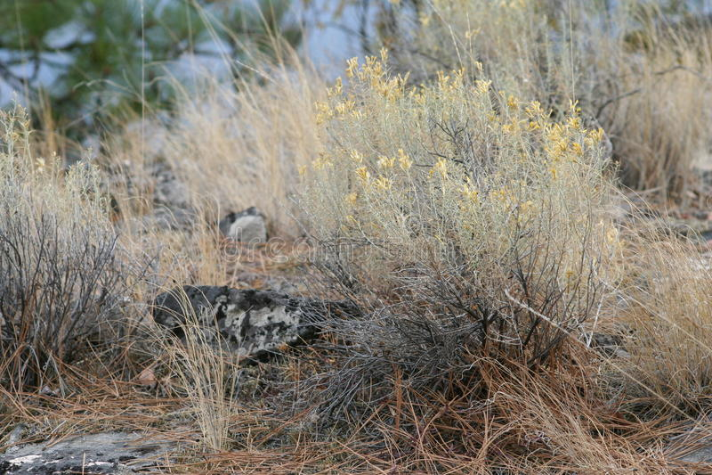Grasslands, Rabbit Brush stock photography