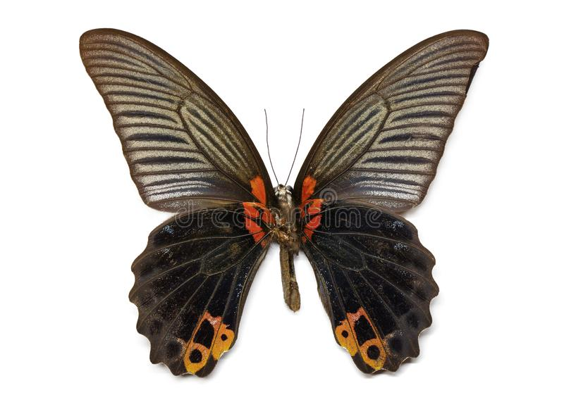 Image of Great Mormon Butterfly Papilio memmon. royalty free stock photo