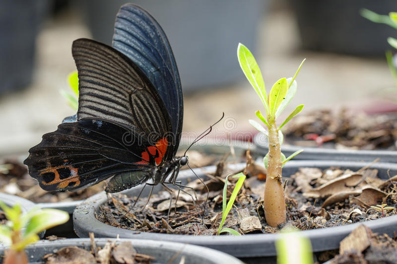 Image of great mormon butterfly. Image of great mormon butterfly& x28;Papilio memnon agenor Linnaeus,1758& x29; on nature background. Insect Animal stock photo