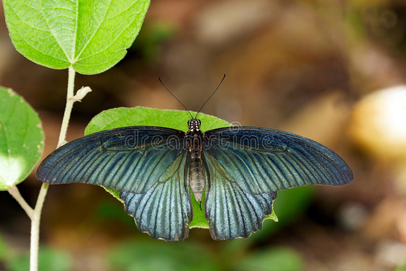 Image of Great Mormon Butterflymale. On green leaves. Insect Animal. Papilio memnon agenor Linnaeus,1758 stock photography