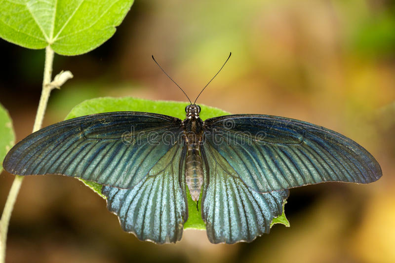 Image of Great Mormon Butterflymale on green leaves. Insect. Animal. Papilio memnon agenor Linnaeus,1758 royalty free stock image