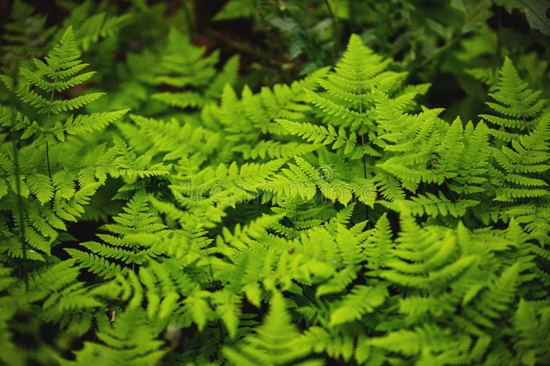 Green fern in the forest. Small texture green ferns for background. Image of Green fern in the forest. Small texture green ferns for background royalty free stock photos
