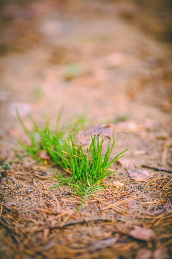 Image of green pine needles on bright soil. On summer day royalty free stock photography