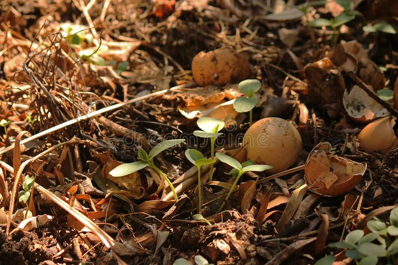 SEEDLINGS NEXT TO EGG SHELLS ON COMPOST HEAP. Image of green seedlings sprouting next to discarded egg shells on a compost heap royalty free stock photography