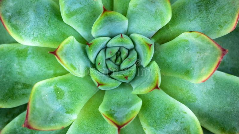 Close-up of A Green Succulent Plant stock photo