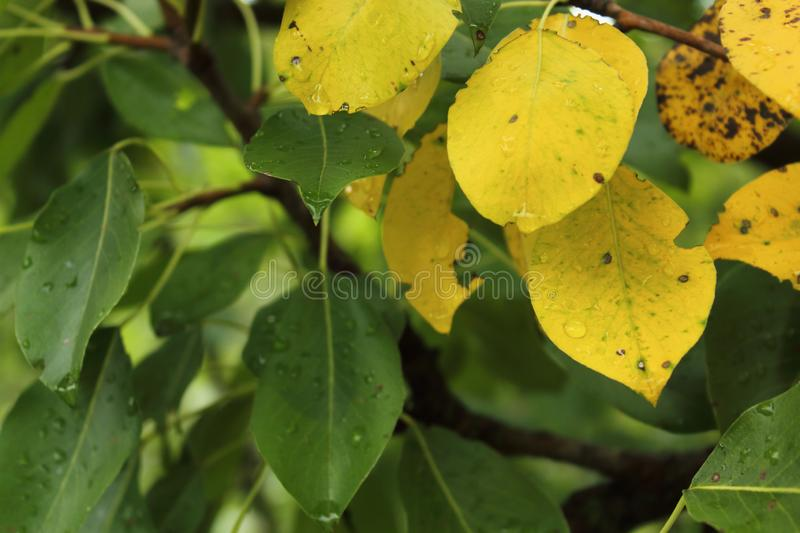 Image of green and yellow leaves on pear tree royalty free stock photography