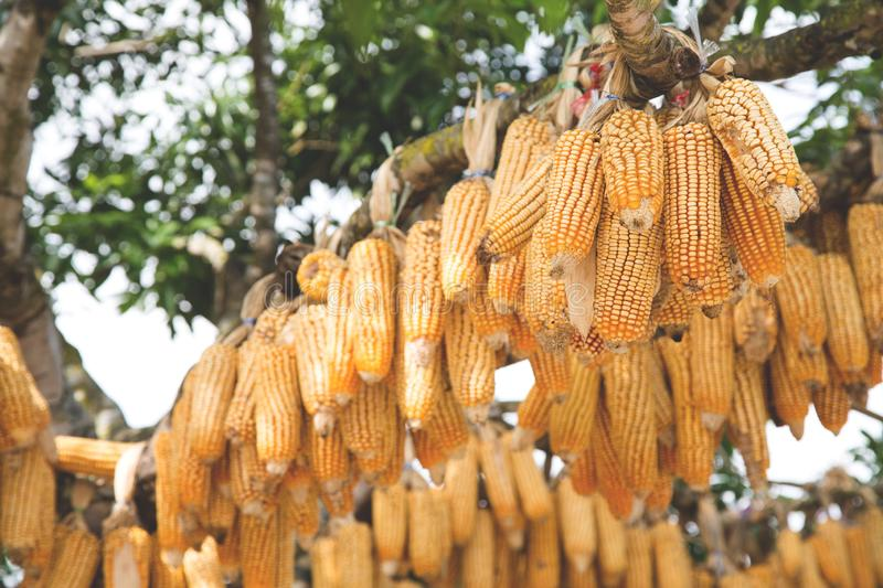 Image of Group of dry corn hanging on the tree in Santichon Village. Pai, Maehongsorn , North of Thailand stock photo