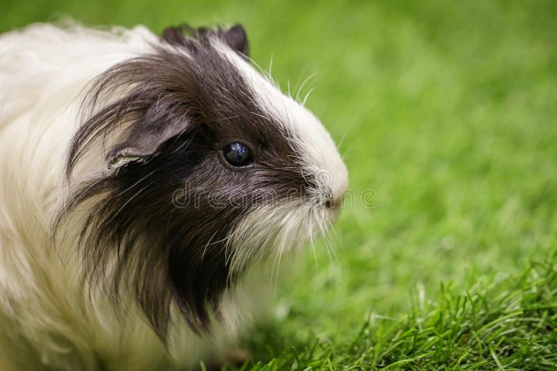 Image of guinea pig on the lawn. Pets. Animals stock images