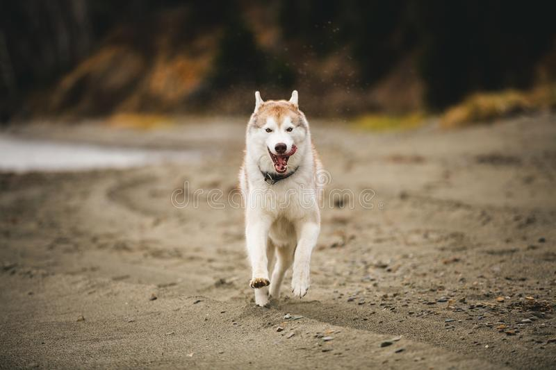 Image of happy and swift Beige and white Siberian Husky dog running on the beach at seaside in autumn. Image of happy and funny Beige and white Siberian Husky royalty free stock images