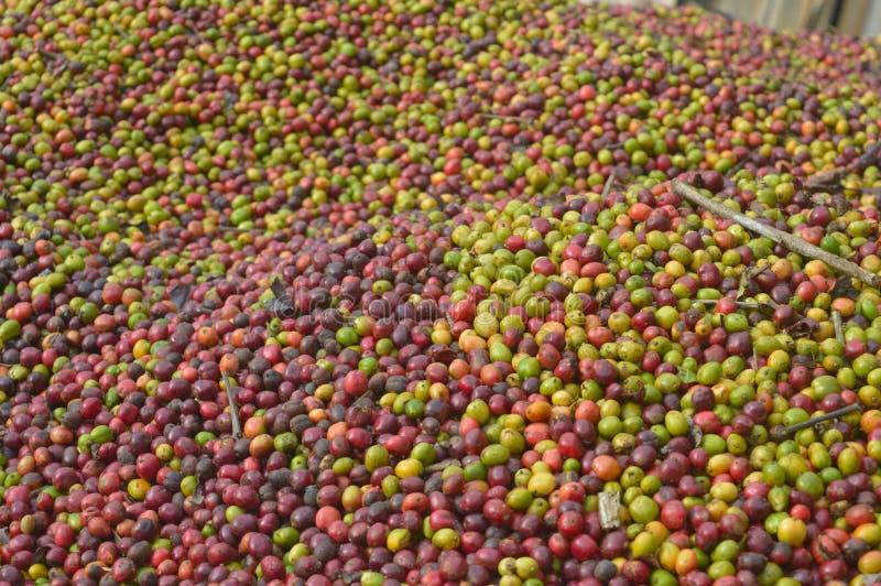 Harvested coffee berries stock photos