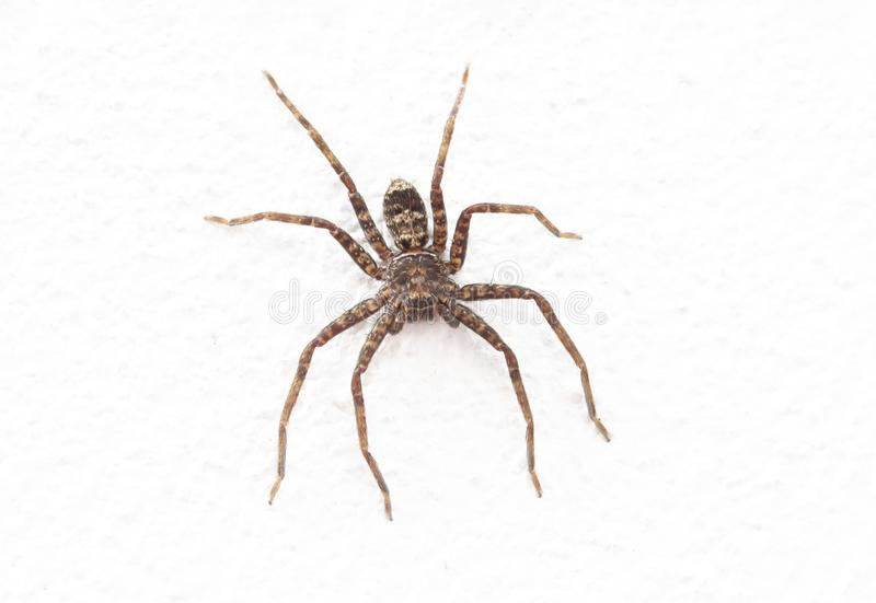Image haute étroite d'araignée image libre de droits