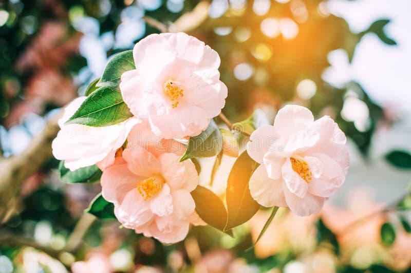 Image haute étroite d'un beau camélia rose mou de floraison photos stock