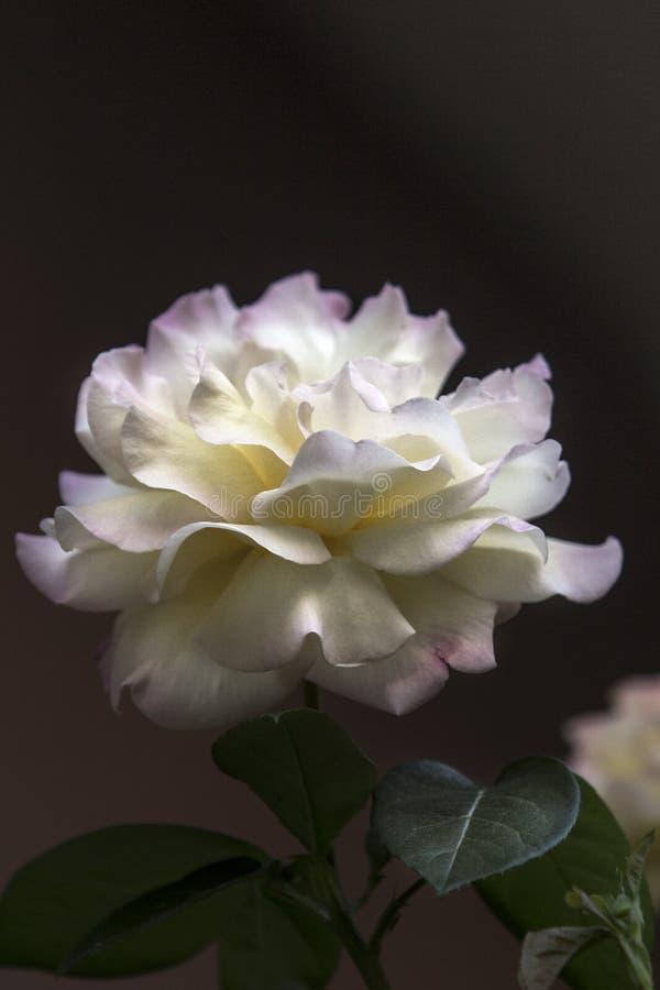 Image haute étroite d'une grande rose pâle avec le rose et les feuilles blanc-jaunes de pétale images stock