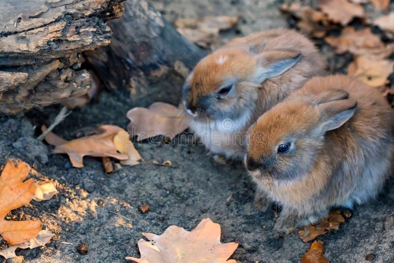Image haute étroite de deux jeunes lapins mignons photographie stock