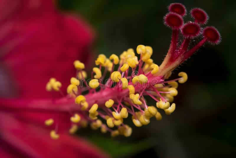 Image haute étroite de fleur rouge de ketmie photos stock