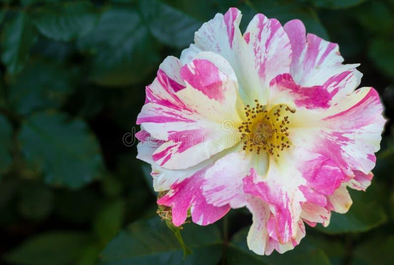 """Image haute étroite de la rose """"spiritueux montants """" photo stock"""