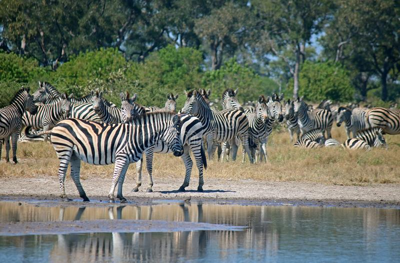 ZEBRA CONGREGATING AT A WATER PAN royalty free stock images