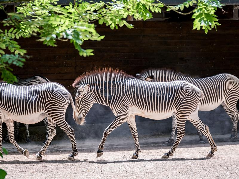 Image of herd of zebras walking through the sunshine in a zoo stock image