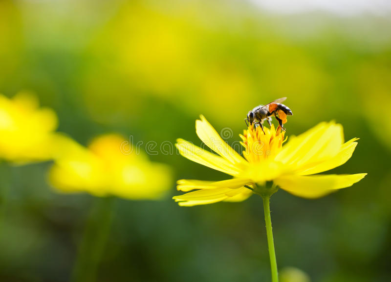 Image of Honey bee. On flower stock photography