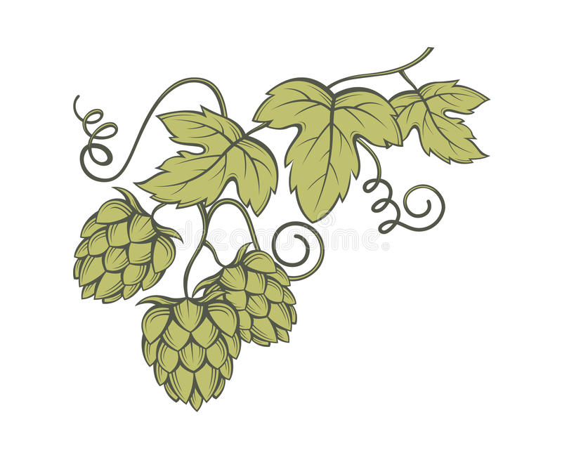 Image of hops. Illustration of hops for brewing stock illustration