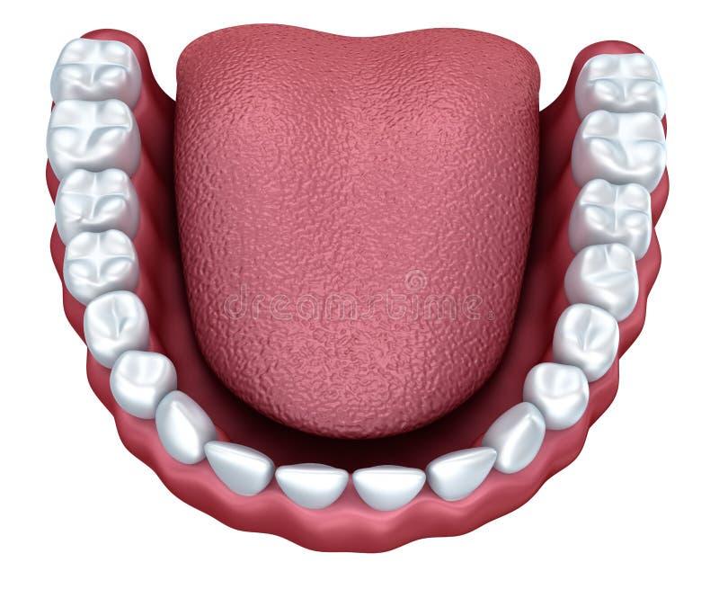 Image humaine du dentier 3D, d'isolement illustration libre de droits