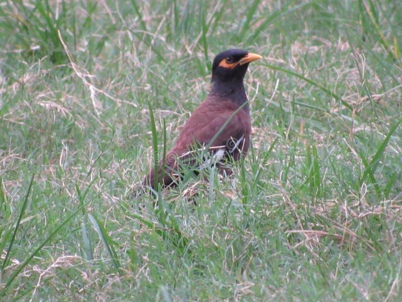 Image indienne d'oiseaux de myna de commom photos stock
