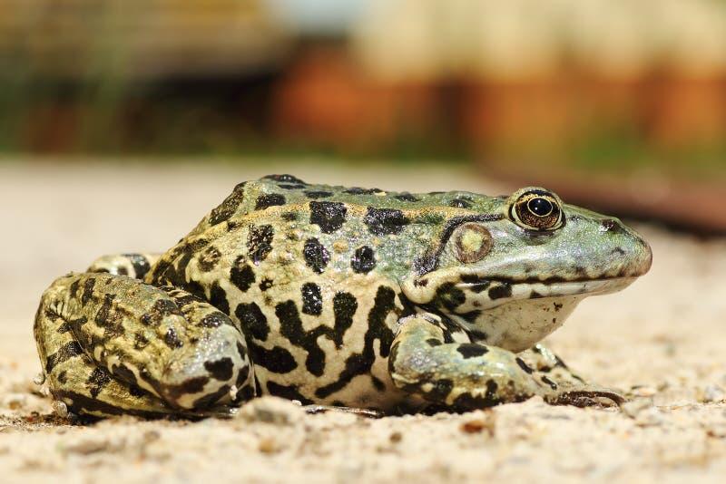 Image intégrale de grenouille colorée de marais images libres de droits
