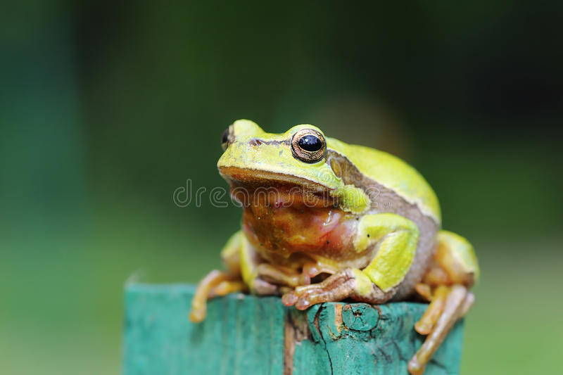 Image intégrale de grenouille d'arbre verte photographie stock libre de droits