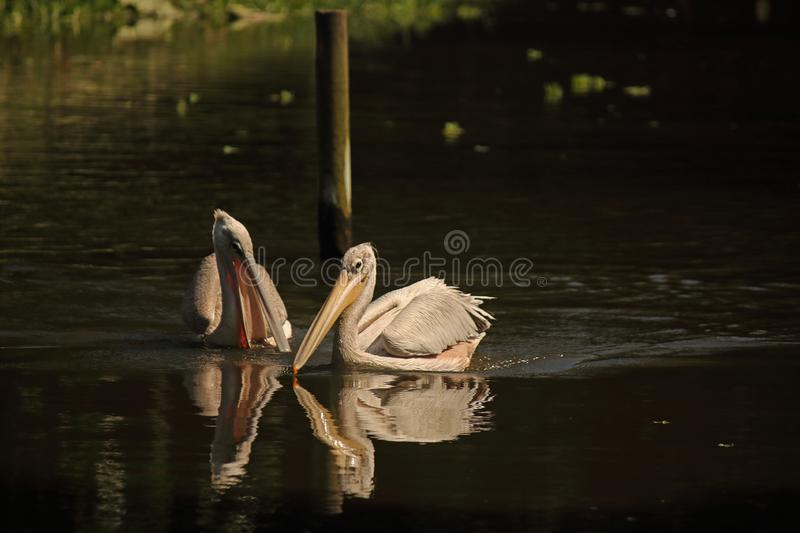 TWO PELICAN BIRDS ON A POND. Image of light pink Pelican birds in a park on the water of a pond in summer stock photography