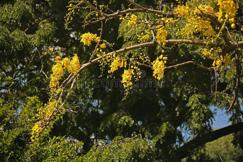 SPRAYS OF BRIGHT YELLOW GOLDEN RAIN FLOWERS ON A TREE BRANCH royalty free stock image