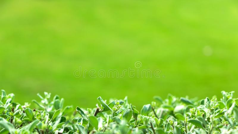 Close-up of Green Leaves in A Natural Blurred Green Background royalty free stock photography