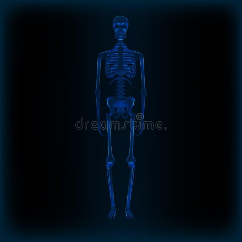 Image médicale d'anatomie squelettique humaine réaliste de rayon X illustration de vecteur