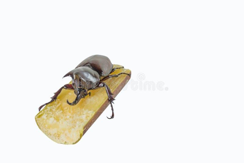 image of Male Rhinoceros Beetle on sugar cane royalty free stock photo