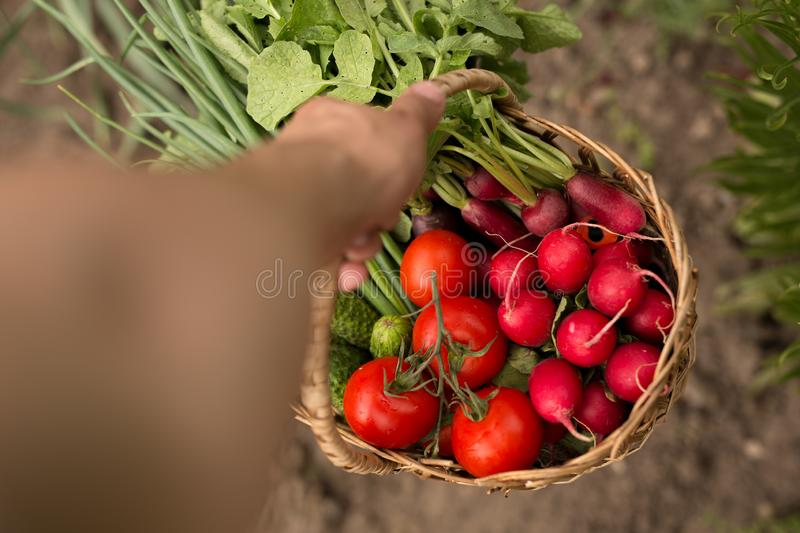 Close-up of a man holding a basket of vegetables and cucumbers. Horizontal view. royalty free stock photo