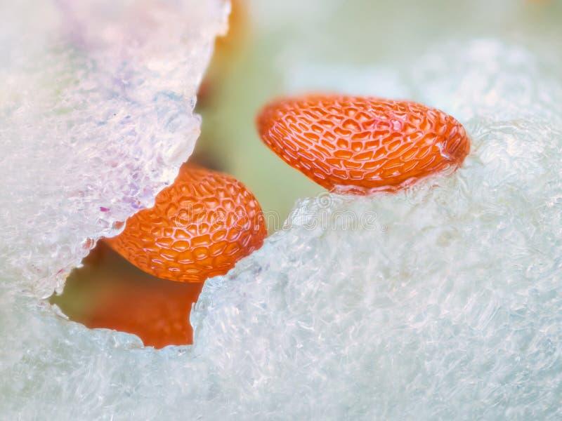 Image microscopique pointue et détaillée extrême des graines de myrtille images libres de droits