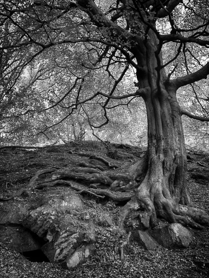 Image monochrome d'un vieil arbre forestier grand avec de grandes vieilles racines tordues s'élevant au-dessus des rochers et des photos libres de droits