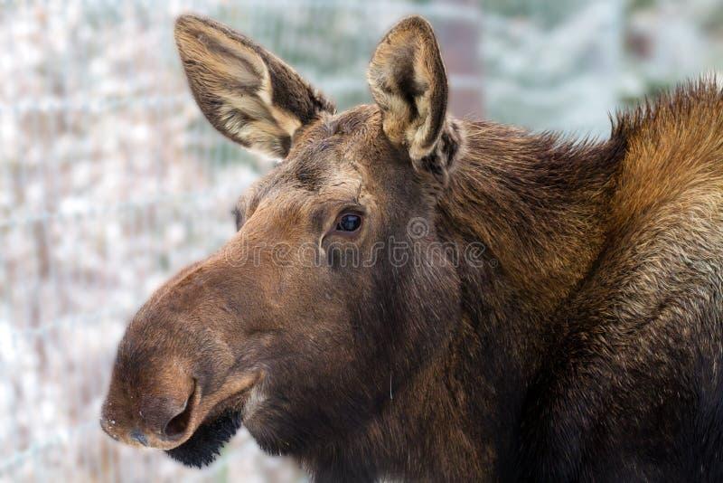 Moose Calf Yukon Wildlife Preserve. A image of a Moose calf at the Yukon Wildlife Preserve, near Whitehorse, Yukon, Canada royalty free stock photos