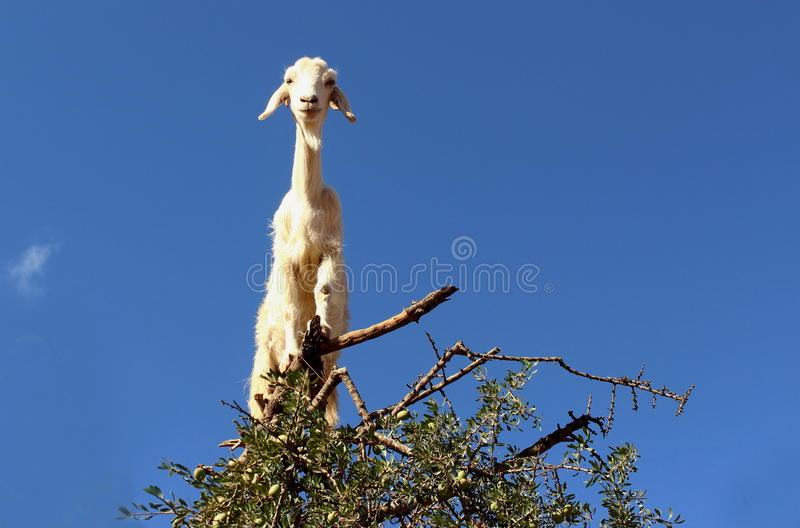 Image of a native tamri goat climbing argan tree for food in semi desert of Morocco. stock photography