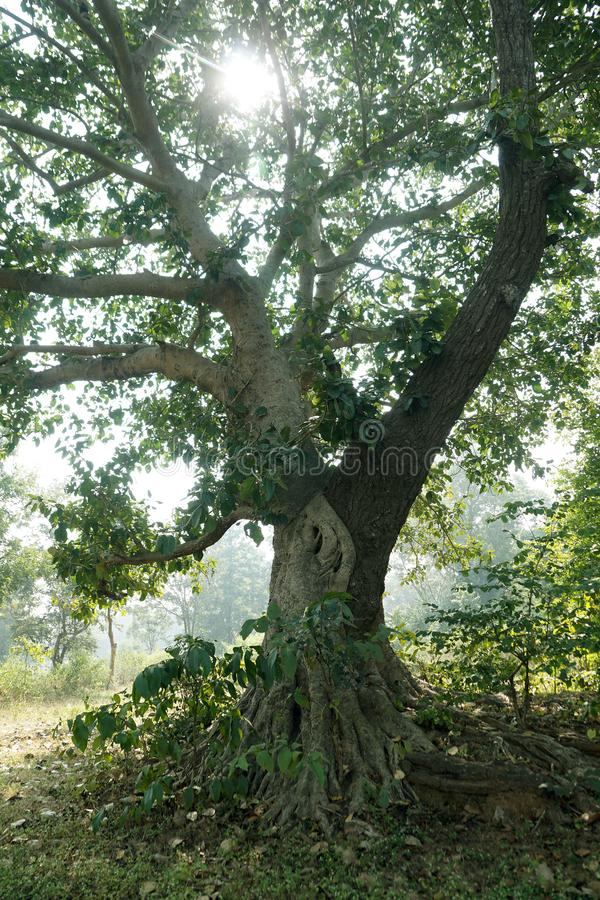 The image of natural grafting of two trees. This image one of example of natural grafting of two different species of trees. one of them is banyan tree and other stock photo