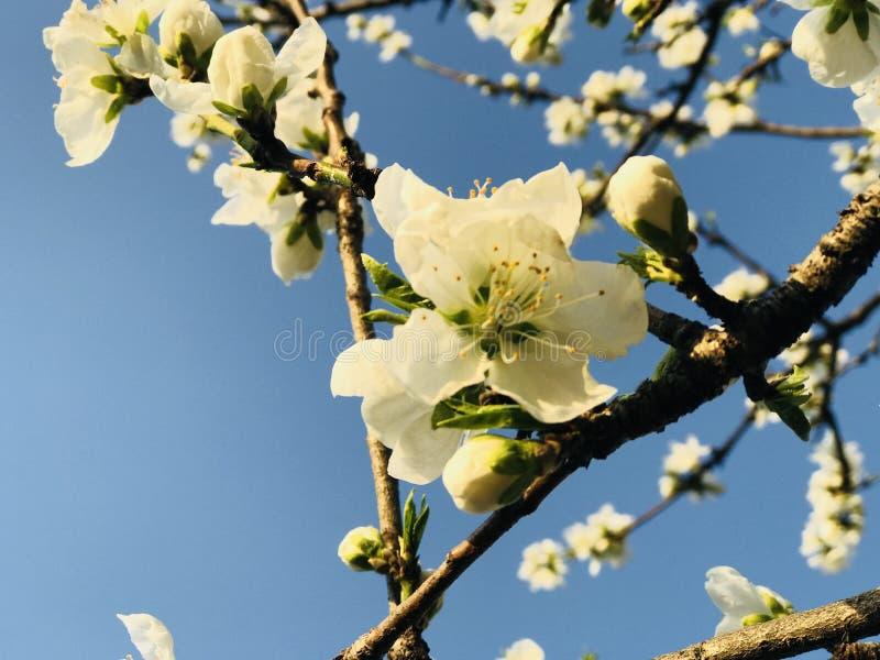 Natural white sakura of japan stock photo