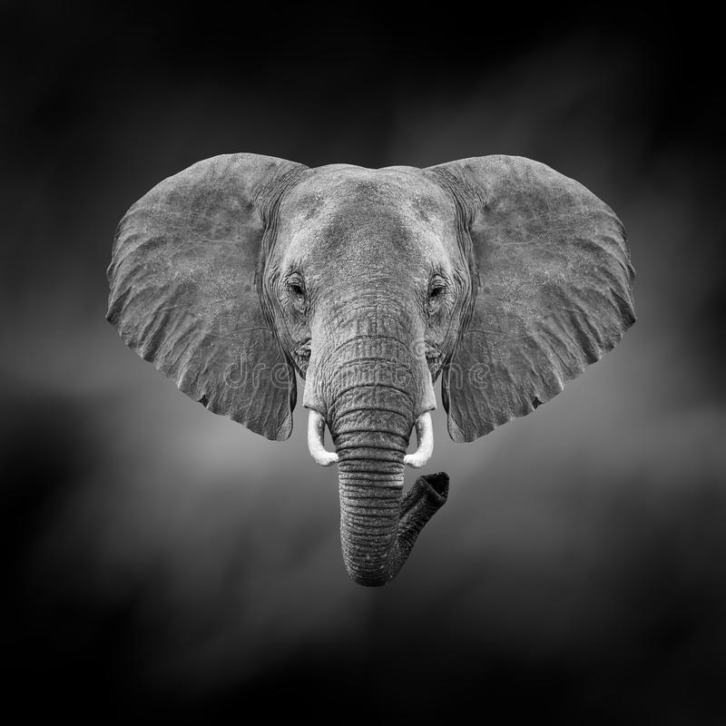 Image noire et blanche d'un éléphant photo stock