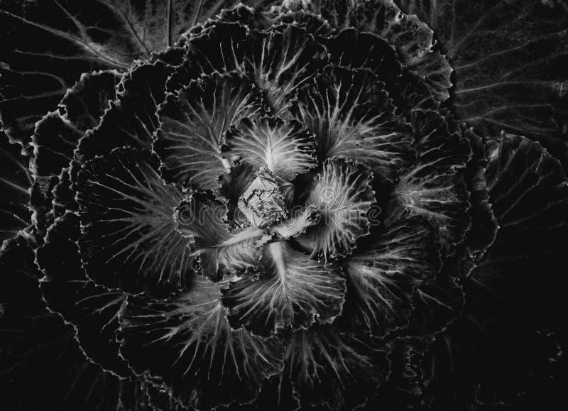 Image noire et blanche de chou frisé images libres de droits