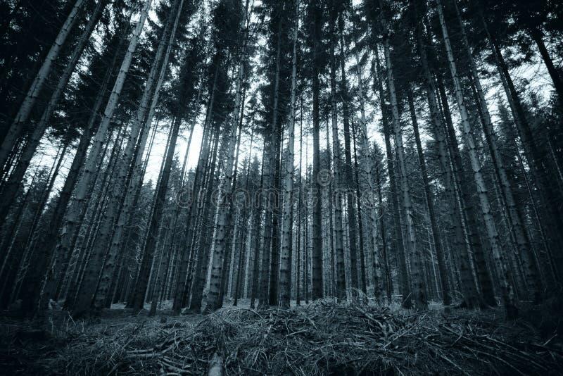 Image noire et blanche de longs pins images libres de droits