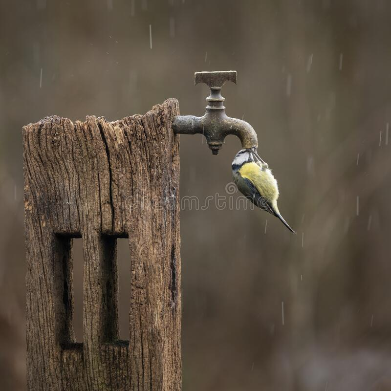 Free Image Of Blue Tit Bird Cyanistes Caeruleus On Wooden Post With Rusty Water Tap In Spring Sunshine And Rain In Garden Stock Images - 190897944