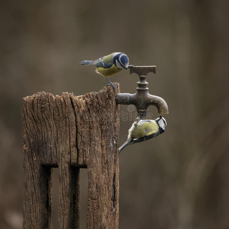 Free Image Of Blue Tit Bird Cyanistes Caeruleus On Wooden Post With Rusty Water Tap In Spring Sunshine And Rain In Garden Royalty Free Stock Photo - 191419015