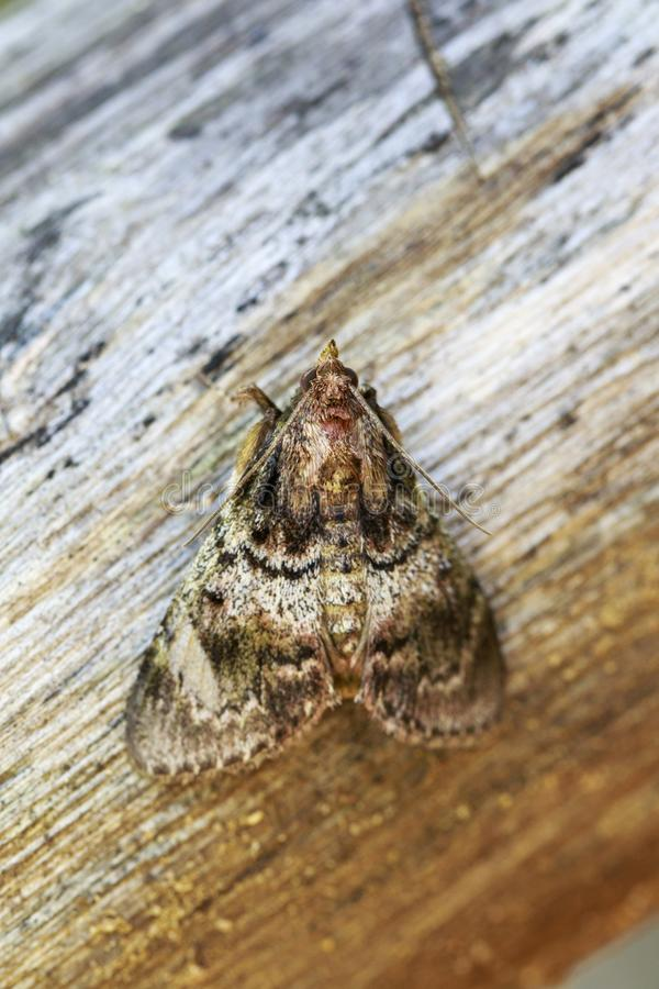 Free Image Of Brown Moth Nannoarctia Tripartita On Tree. Insect. Stock Image - 100564361