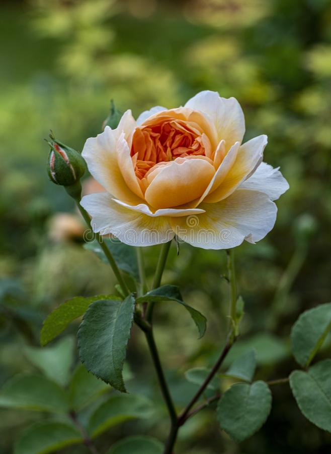 Glorious  Orange Rose. An image of a orange Rose named Pat Austin in full bloom on a blurred background royalty free stock photography