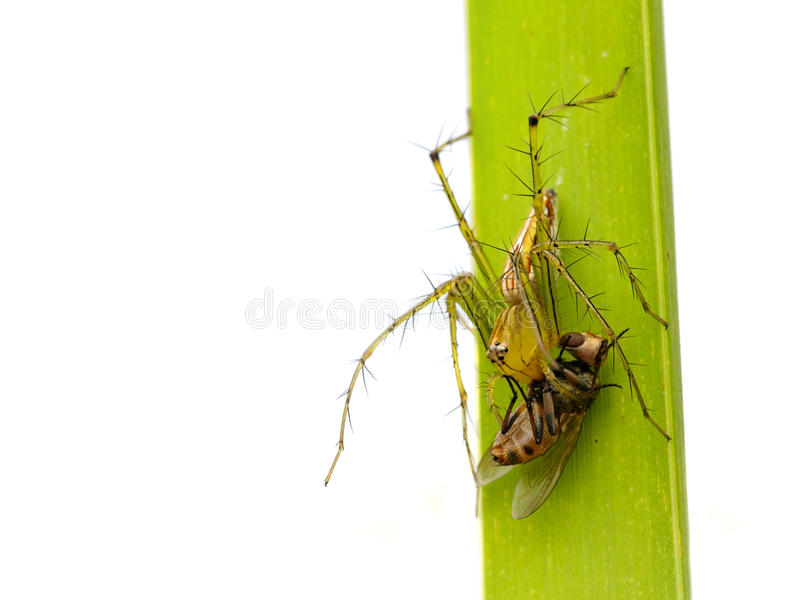 Image Of Oxyopidae Spider Going To Eat Fly. Stock Photo - Image of ...